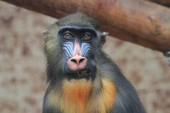Baboon monkey head. As portrait of primate royalty free stock photo
