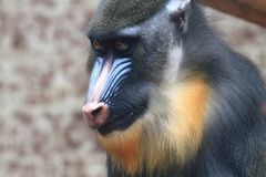 Baboon monkey head. As portrait of primate stock photo