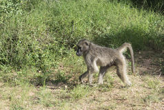 Baboon monkey in kruger park. South africa royalty free stock photo