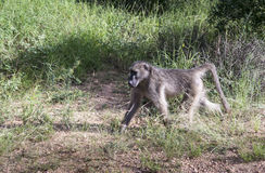 Baboon monkey in kruger park. South africa royalty free stock photography