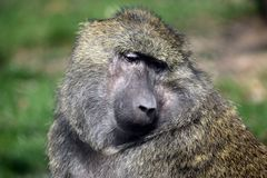 Baboon Monkey Papio Anubis Head Closeup Portrait royalty free stock image