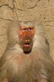 Baboon Monkey looking surprised. Making a comic face stock photo