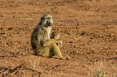 Baboon monkey mother with baby in Africa wild nature. African wildlife primate animal royalty free stock photos