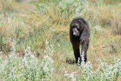 Baboon monkey, Namibia. African baboon monkey walking in savanna, Namibia, Africa royalty free stock photo