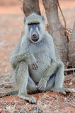 Baboon monkey in National park of Kenya. Africa royalty free stock photos