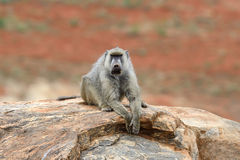 Baboon monkey in National park of Kenya. Africa Royalty Free Stock Photo