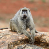 Baboon monkey in National park of Kenya. Africa stock photography