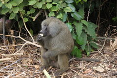 Baboon Monkey, near Arusha, Tanzania. Picture was taen during Safari trip royalty free stock images