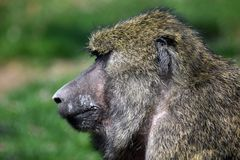 Baboon Monkey Papio Anubis Head Closeup Portrait royalty free stock photo
