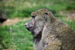Baboon Monkey Papio Anubis Head Closeup Portrait stock images