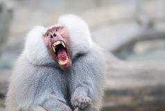 Baboon monkey Pavian, genus Papio screaming out loud with large open mouth and showing pronounced sharp teeth. In a loud and dominant behaviour. Adult monkey royalty free stock photos
