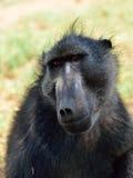 Baboon monkey portrait. Portrait fo african baboon monkey stock photos
