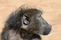 Baboon monkey portrait Stock Images