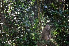 Baboon monkey in a rain forest Royalty Free Stock Images