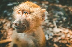 Baboon monkey in ray of light. Closeup portrait on blurred background royalty free stock images
