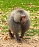 Baboon. The baboon monkey runs along the grass royalty free stock photos