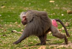 The baboon monkey runs along the grass.  Stock Images