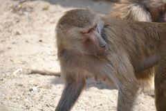Baboon monkey, defocused background. Horizontal photograph stock photography