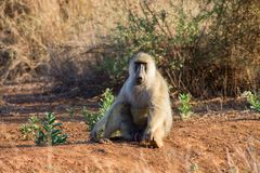 Baboon monkey sit on the ground in Africa wildlife. Wild baboon monkey in Africa nature wildlife. African wildlife primate animal monkey walks stock images