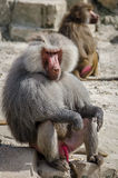 Baboon monkey. Sitting on a rock royalty free stock photo