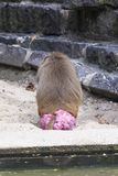 Baboon monkey sitting and showing his pink. Butt stock image