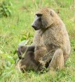 Baboon monkey in Tanzania. African baboon monkey, Tanzania royalty free stock image