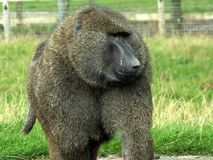 Baboon monkey. Walking on the grass royalty free stock photography