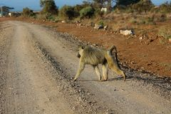 Baboon monkey walks on the road in Africa wild nature. African wildlife primate animal stock image