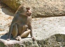 Baboon monkey wildlife background. Nature stock images
