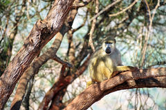 Baboon. Monkeyon a tree in search of fruits stock image
