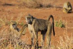 Baboon monkeys in Africa wild nature. African wildlife primate animal monkey royalty free stock image