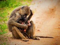 Baboon monkeys in African bush. Tsavo West, Kenya Stock Photography