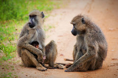 Baboon monkeys in African bush. Tsavo West, Kenya Royalty Free Stock Photography