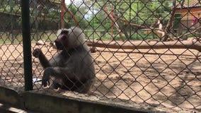 Baboon monkeys in zoo, in African area stock footage