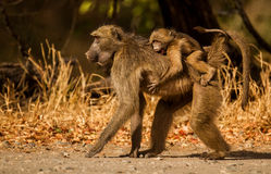 Baboon. Mother baboon with babies in the wild stock photo