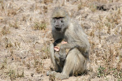 Baboon Mother And Baby. A mother baboon cradles her baby in the Luangwa valley, Zambia Royalty Free Stock Photo