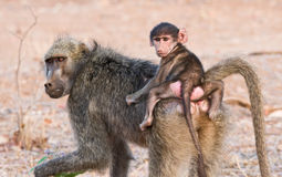 Baboon Mother and Baby. Chacma Baboon, Papio urisinus, carrying baby on its back Royalty Free Stock Photography