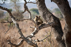 Baboon mother and baby. A mother baboon and her baby at Mikumi National Park in Tanzania Stock Image