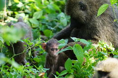 Baboon mother and baby Stock Photo