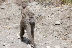 Baboon baby on back. The babonn mother protects her baby on the back royalty free stock images