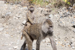 Baboon mother with baby on the back Royalty Free Stock Images
