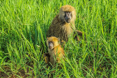 Baboon with beby. In green grass. Ngorongoro National Park Tanzania, Africa Stock Photos