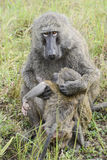 Baboon mother caring infant Royalty Free Stock Images