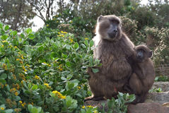 Baboon mother with child Stock Image