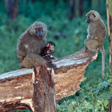 Baboon mother feeds the baby sitting in a tree Royalty Free Stock Images