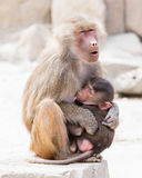 Baboon mother and her little one Royalty Free Stock Photo