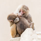 Baboon mother and her little one Stock Images