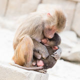 Baboon mother and her little one Stock Photography