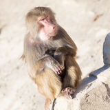 Baboon mother and her little one Royalty Free Stock Images