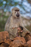 Baboon mother and infant. Yellow baboon mother and newborn infant nursing, Tsavo East National Park, Kenya Royalty Free Stock Photography